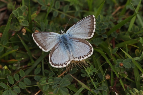 Chalkhill Blue August 19 (3)