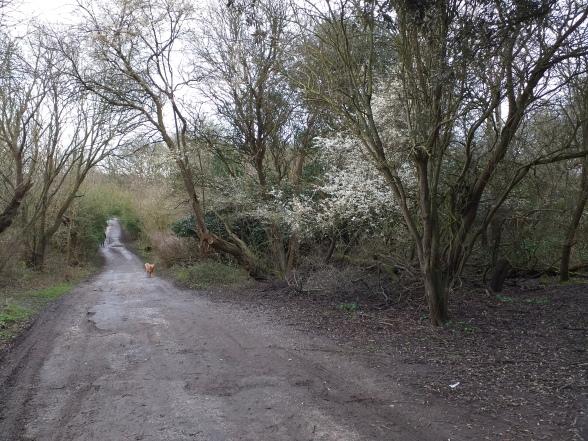 Blackthorn blossom 21 February